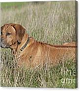 Rhodesian Ridgeback Dog Canvas Print