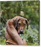 Rhodesian Ridgeback Puppy Canvas Print