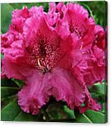 Rhododendron ' Bessie Howells ' Canvas Print