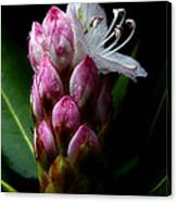 Rhododendron Begining Canvas Print