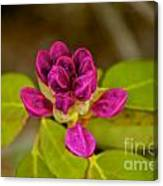 Rhododendron Bud Canvas Print