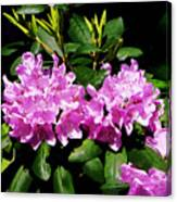 Rhododendron Closeup Canvas Print