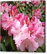 Rhododendron Garden Art Prints Pink Rhodie Flowers Canvas Print