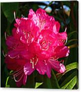 Rhododendron Glow Canvas Print