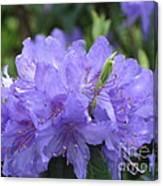 Rhododendron Impeditum Canvas Print