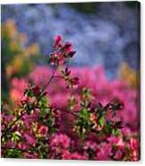 Rhododendron Pink Dream Canvas Print
