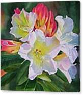 Rhododendron With Red Buds Canvas Print