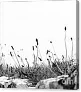 Ribwort Plantain Canvas Print