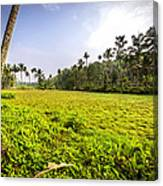 Rice Field Canvas Print