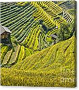 Rice Fields Terraces Canvas Print