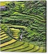Rice Fields Vietnam Canvas Print