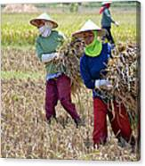 Rice Harvest Canvas Print