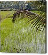 Rice Paddy Canvas Print