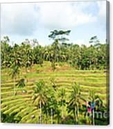 Rice Paddy Field Plantation Canvas Print