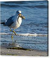 Ring-billed Gull With Its Catch Canvas Print