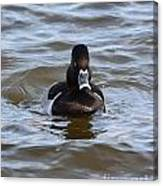 Ring Neck Duck Canvas Print