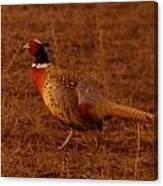 Ring Neck Pheasant  Canvas Print