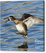Ring-necked Duck Landing Canvas Print