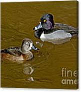 Ring-necked Duck Pair Canvas Print