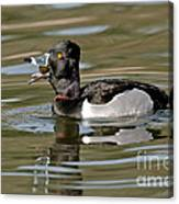 Ring-necked Duck Swallowing Snail Canvas Print