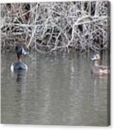 Ring Necked Ducks Canvas Print