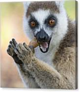 Ring-tailed Lemur Cracking Seed Pod Canvas Print