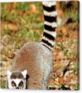 Ring-tailed Lemur Lemur Catta Walking Canvas Print