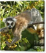 ring-tailed lemur Madagascar 1 Canvas Print