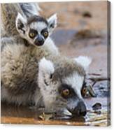 Ring-tailed Lemur Mother Drinking Canvas Print