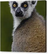 Ring-tailed Lemur Portrait Madagascar Canvas Print