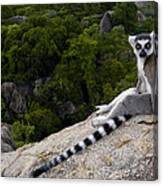 Ring-tailed Lemur Resting Madagascar Canvas Print
