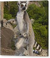 Ring-tailed Lemur Standing Madagascar Canvas Print