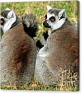 Ring-tailed Lemurs Lemur Catta Canvas Print