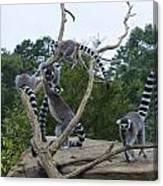 Ring Tailed Lemurs Playing Canvas Print