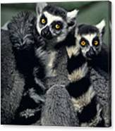 Ringtailed Lemurs Portrait Endangered Wildlife Canvas Print