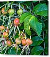 Ripe And Ready Canvas Print