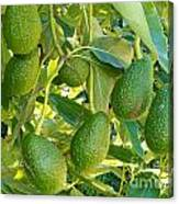 Ripe Avocado Fruits Growing On Tree As Crop Canvas Print