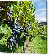 Ripe Grapes Right Before Harvest In The Summer Sun Canvas Print