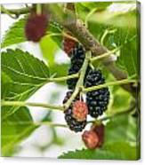 Ripe Mulberry On The Branches Canvas Print