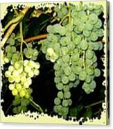 Ripe On The Vine Canvas Print