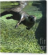 River Otter-7714 Canvas Print