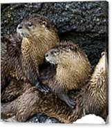 River Otter Trio   #0922 Canvas Print