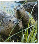 River Otters Canvas Print