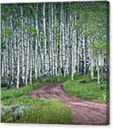 Road Through A Birch Tree Grove Canvas Print