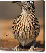 Greater Roadrunner No 1 Canvas Print