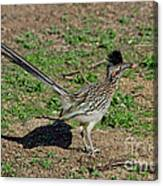 Roadrunner Male With Food Canvas Print