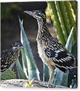 Roadrunners At Play  Canvas Print