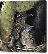 Roadrunners In Nest Canvas Print