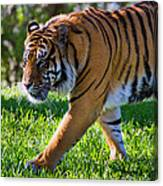 Roaming Tiger Canvas Print