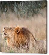 Roar Of The Kalahari Canvas Print